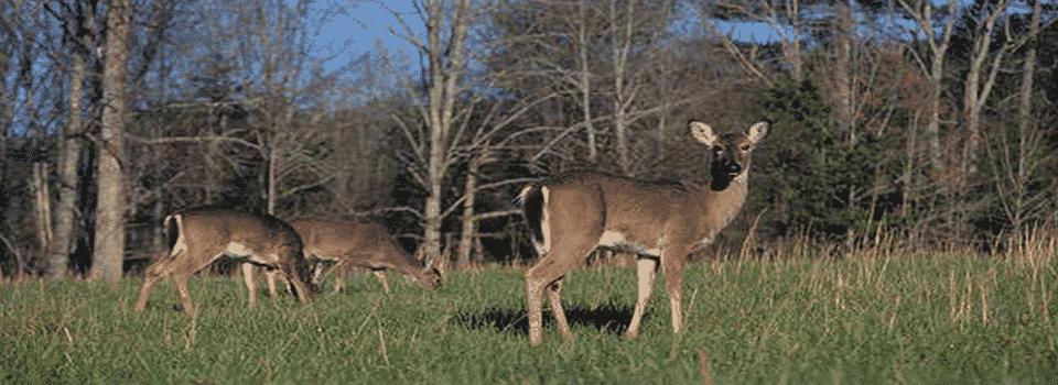 Deer grazing in a field.
