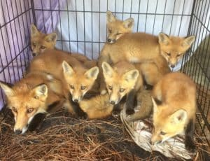 fox trapping services