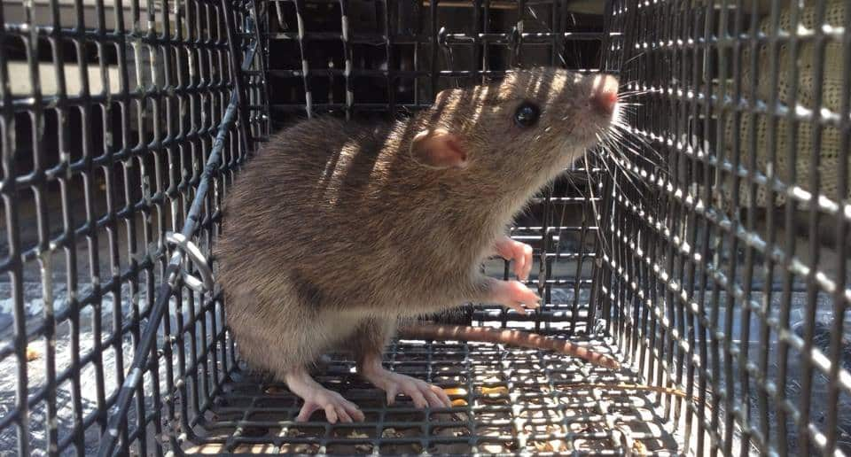 A rat in a humane cage trap.