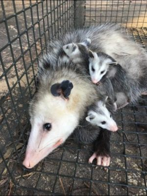 An Oppossum mother with young in a humane cage trap being relocated.