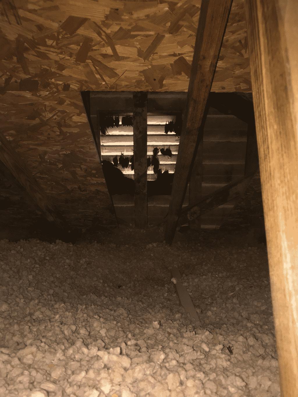 bats in gable vent