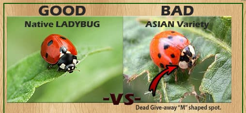 Ladybug and Asian Lady Beetle - Southern Pest Management pest control services in North Georgia