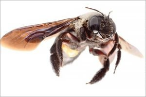Carpenter Bee 2 - Southern Pest Management pest control services in North Georgia