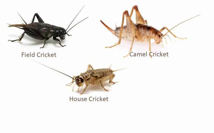 Cricket Pest Control Services