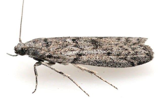 Moth Pest Control Services