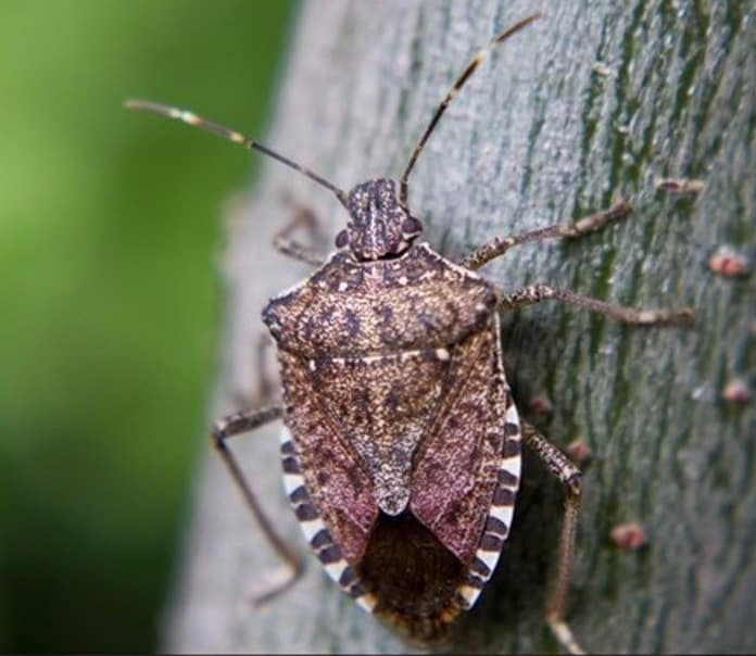 Stinkbug - Southern Pest Management pest control services in North Georgia