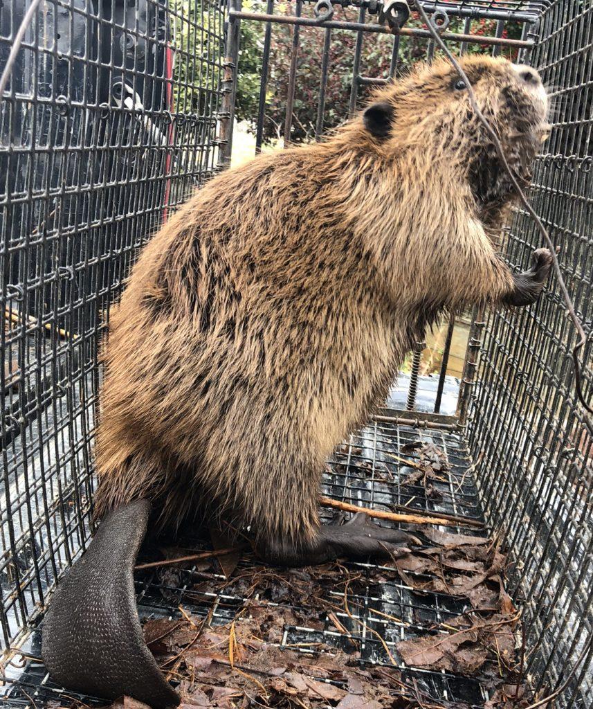 beaver trapper