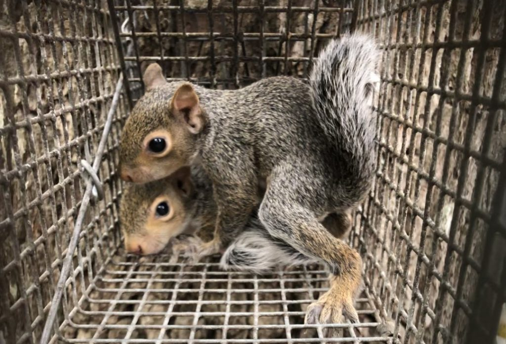 Two juvenile squirrels in a humane cage trap.