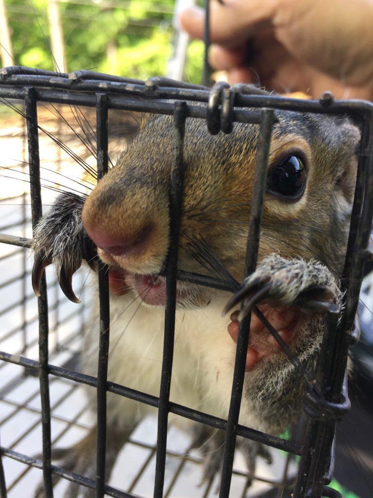 Grey squirrel in trap