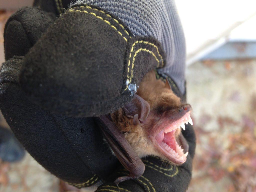 Bat Removal in Alpharetta, Ball Ground, Big Canoe, Crabapple, Cumming, Dawsonville, Duluth, Johns Creek, Milton, Suwanee