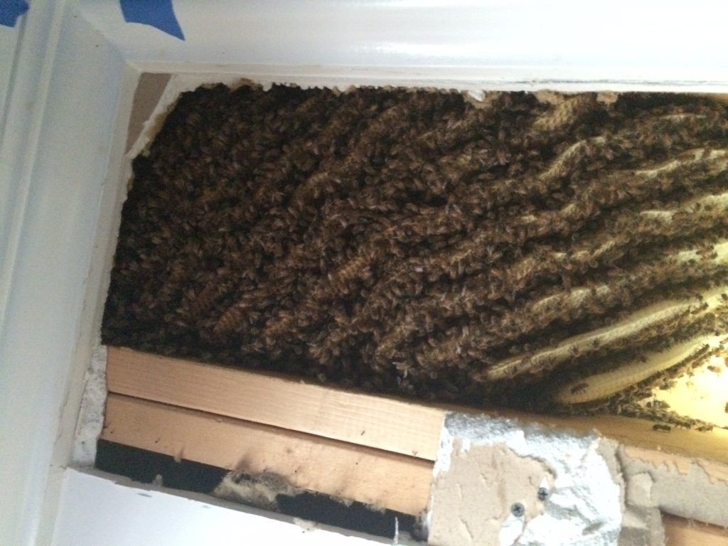Honeybee hive in a ceiling in North Georgia