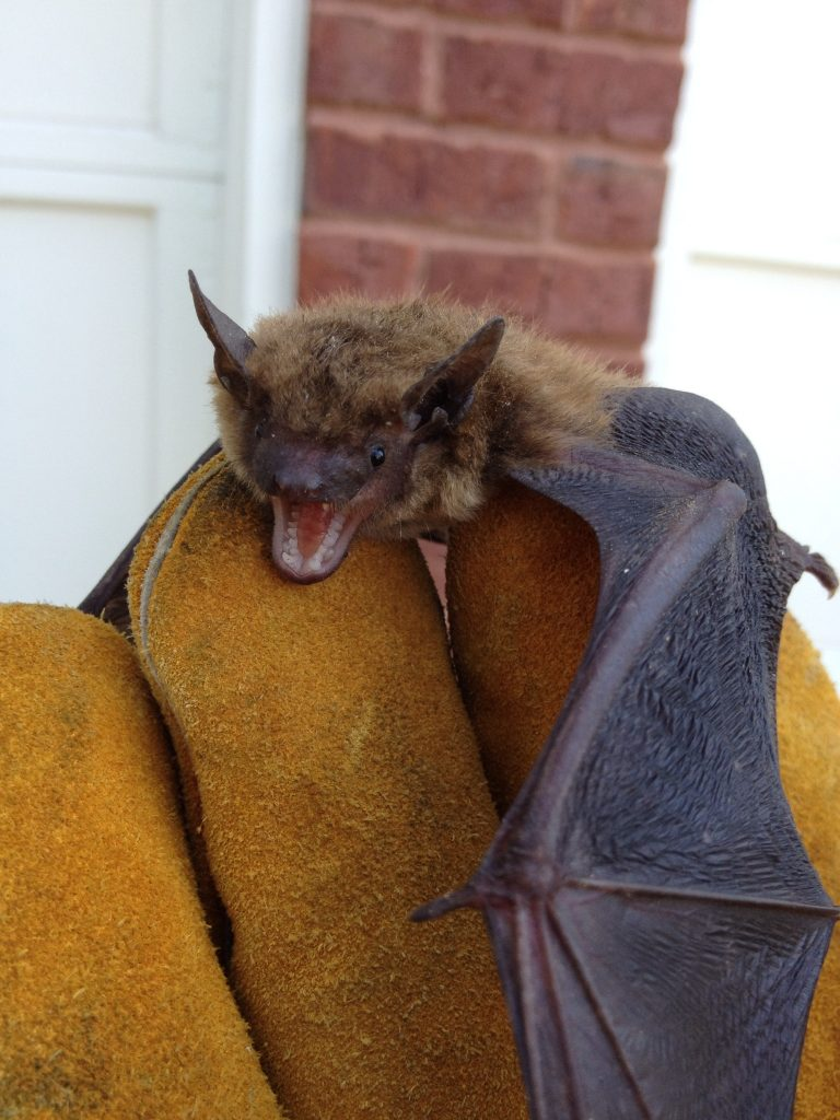 Bat Removal in Alpharetta, Ball Ground, Big Canoe, Crabapple, Cumming, Dawsonville, Duluth, Johns Creek, Milton, Suwanee