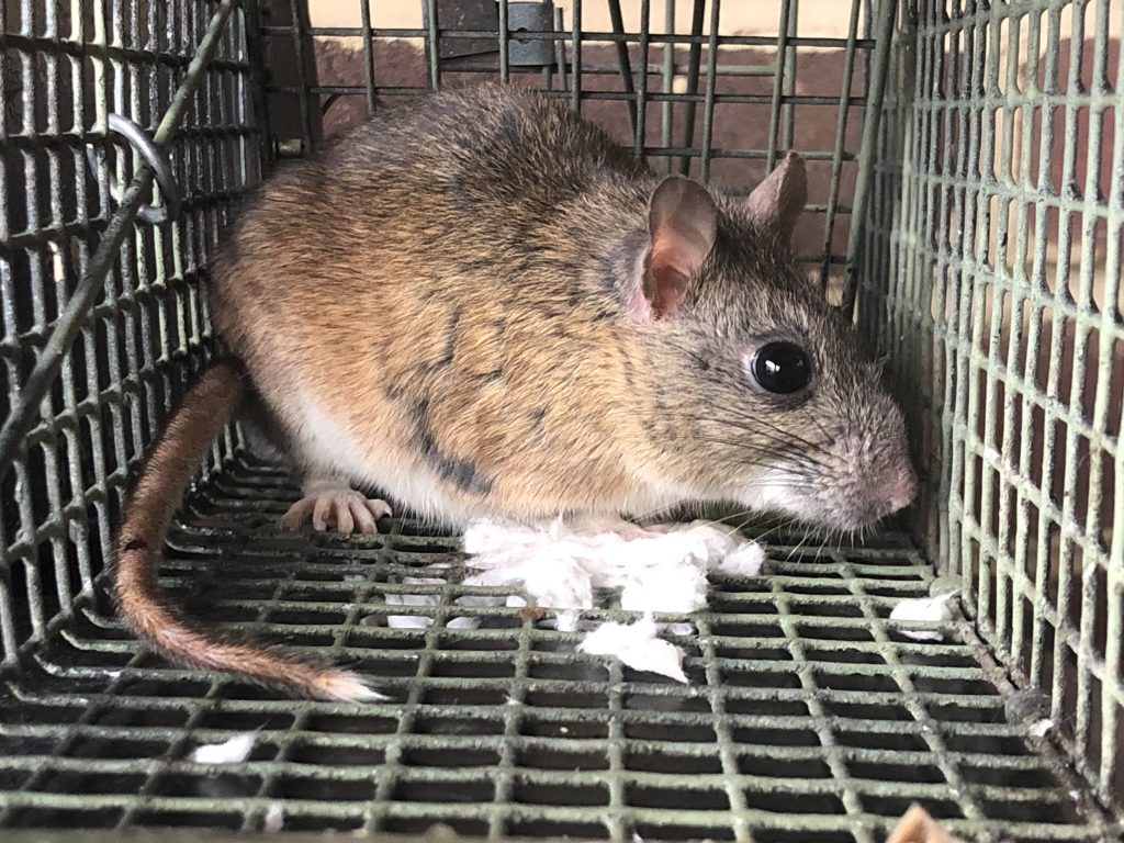 Rodent Control & Rat trapping service