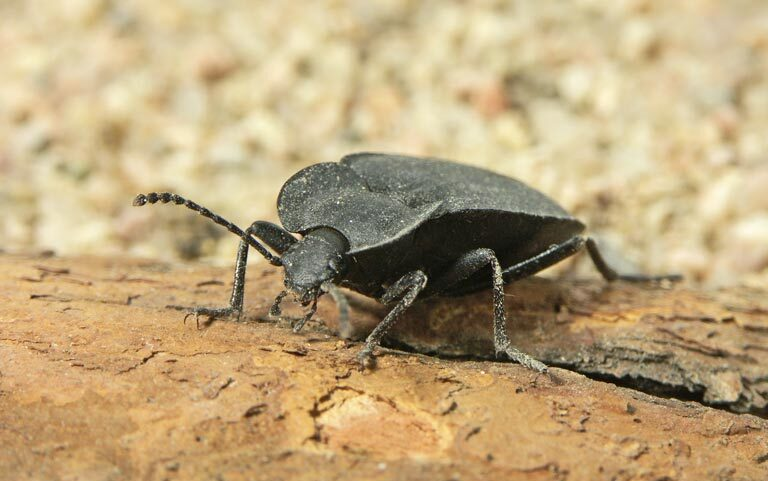 Beetle - Southern Pest Management pest control services in North Georgia