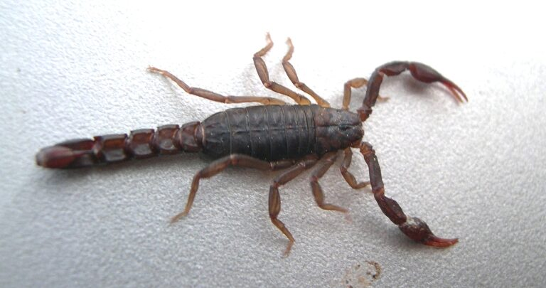 Scorpions - Southern Pest Management pest control services in North Georgia