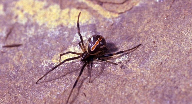 Spiders 2 - Southern Pest Management pest control services