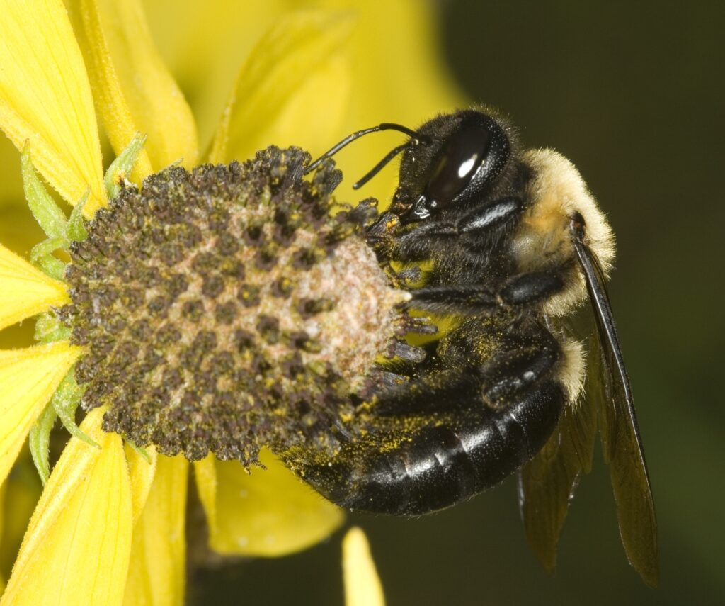 Eastern Carpenter Bee, Southern Pest Management pest control services