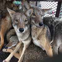 Coyotes in a cage trap