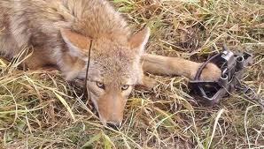 Coyote laying down in a humane leg hold trap